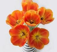 tulips-747050__180
